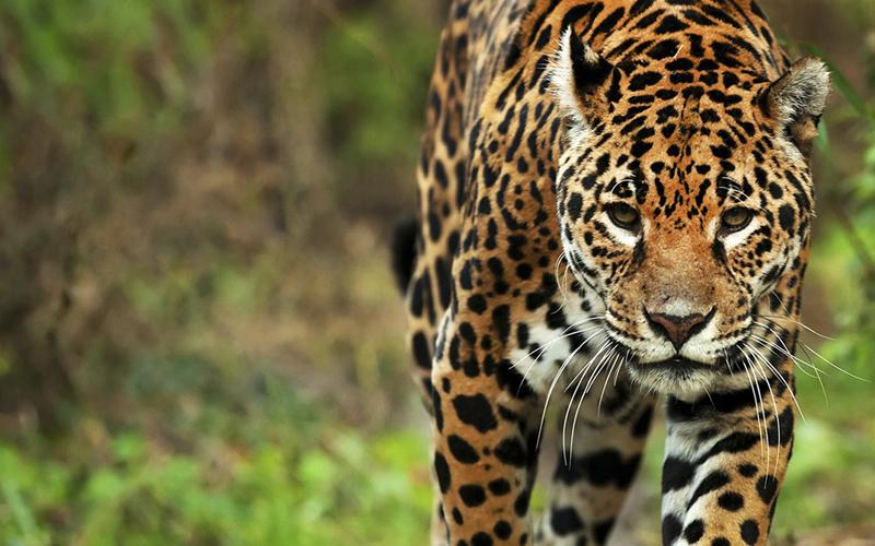 Un yaguareté fue filmado durante los monitoreos anuales de fauna