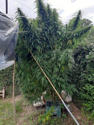 García Fernández | Encuentran una enorme planta de marihuana en el barrio 24 Viviendas