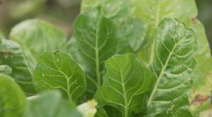 Batata orgánica_una verdura saludable y con compromiso ambiental