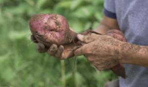 Batata orgánica_una verdura saludable y con compromiso ambiental_2