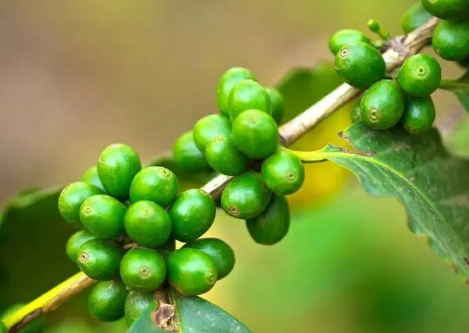Razones para el apogeo del café verde